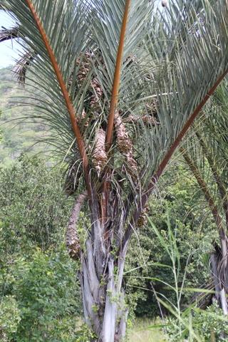 One of the Raffia palms <em>Raphia farinifera </em> along the road that mark the Nyabutaye dambo.