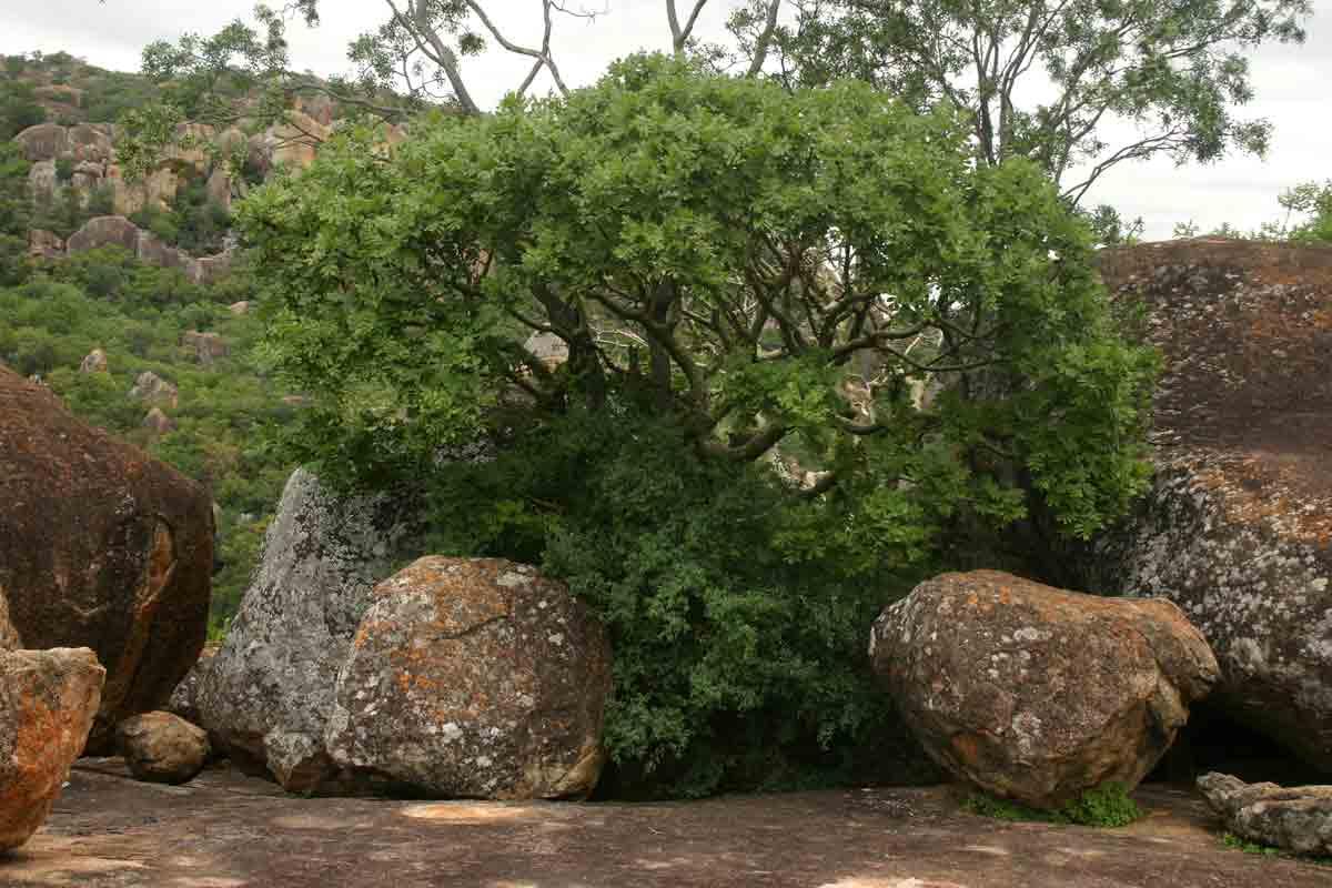Ochna glauca and Commiphora marlothii growing among the boulders