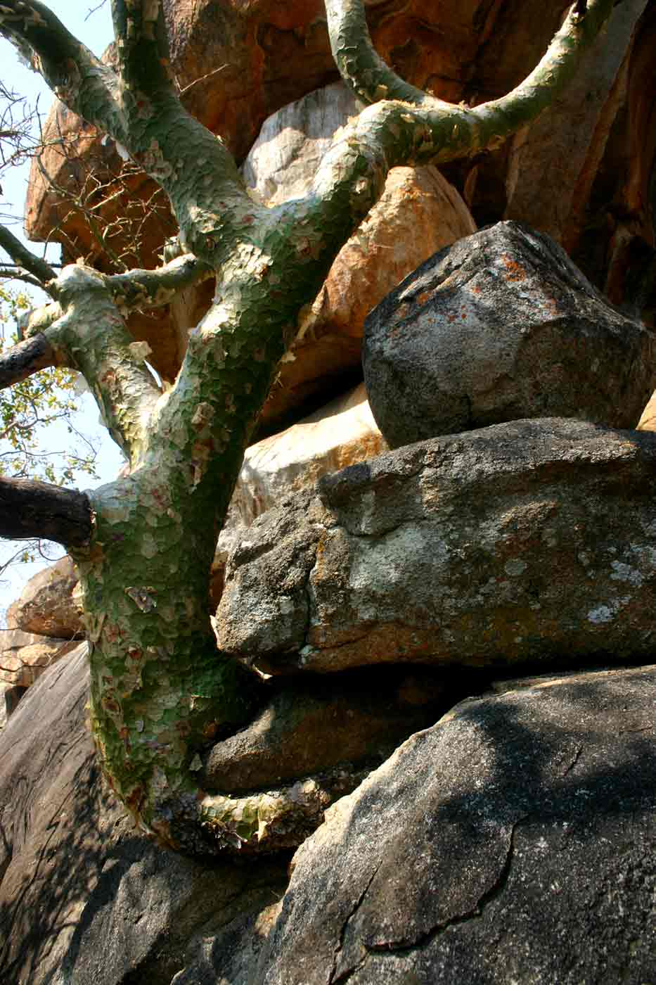Commiphora marlothii growing in a rocky place.