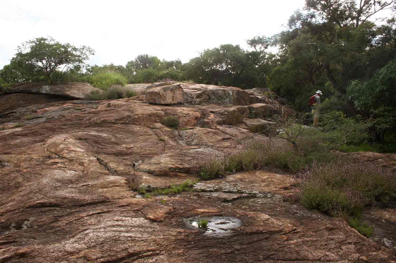 Aeollanthus rehmannii on rock plateau.