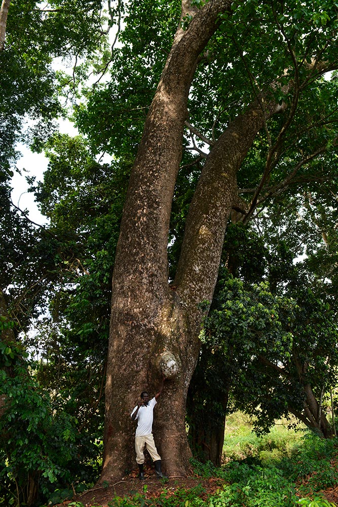 Paulo Tomussene from Trees4Moz with one of the last remaining giants in Nhamacoa Forest (Khaya nathotheca).