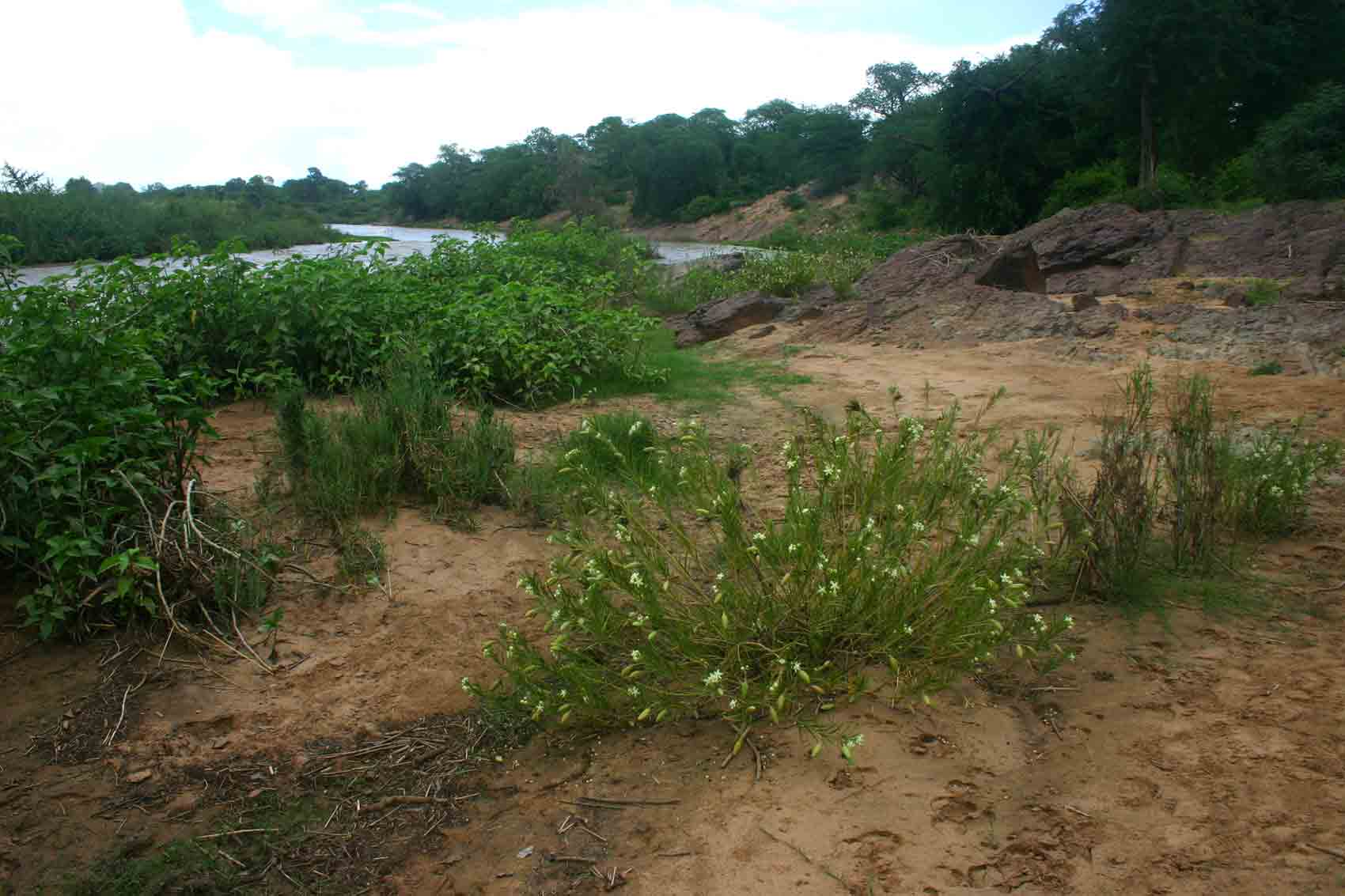 Another view of the Odzi River. Kanahia laniflora in the foreground.