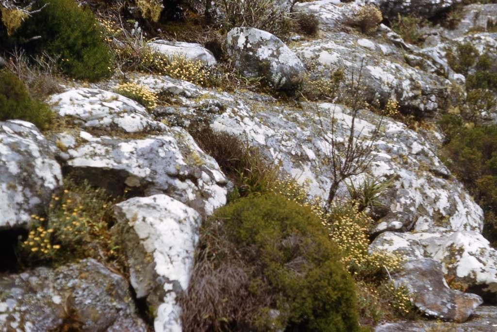 Summit vegetation on Dombe with Ericaceae & Helichrysum