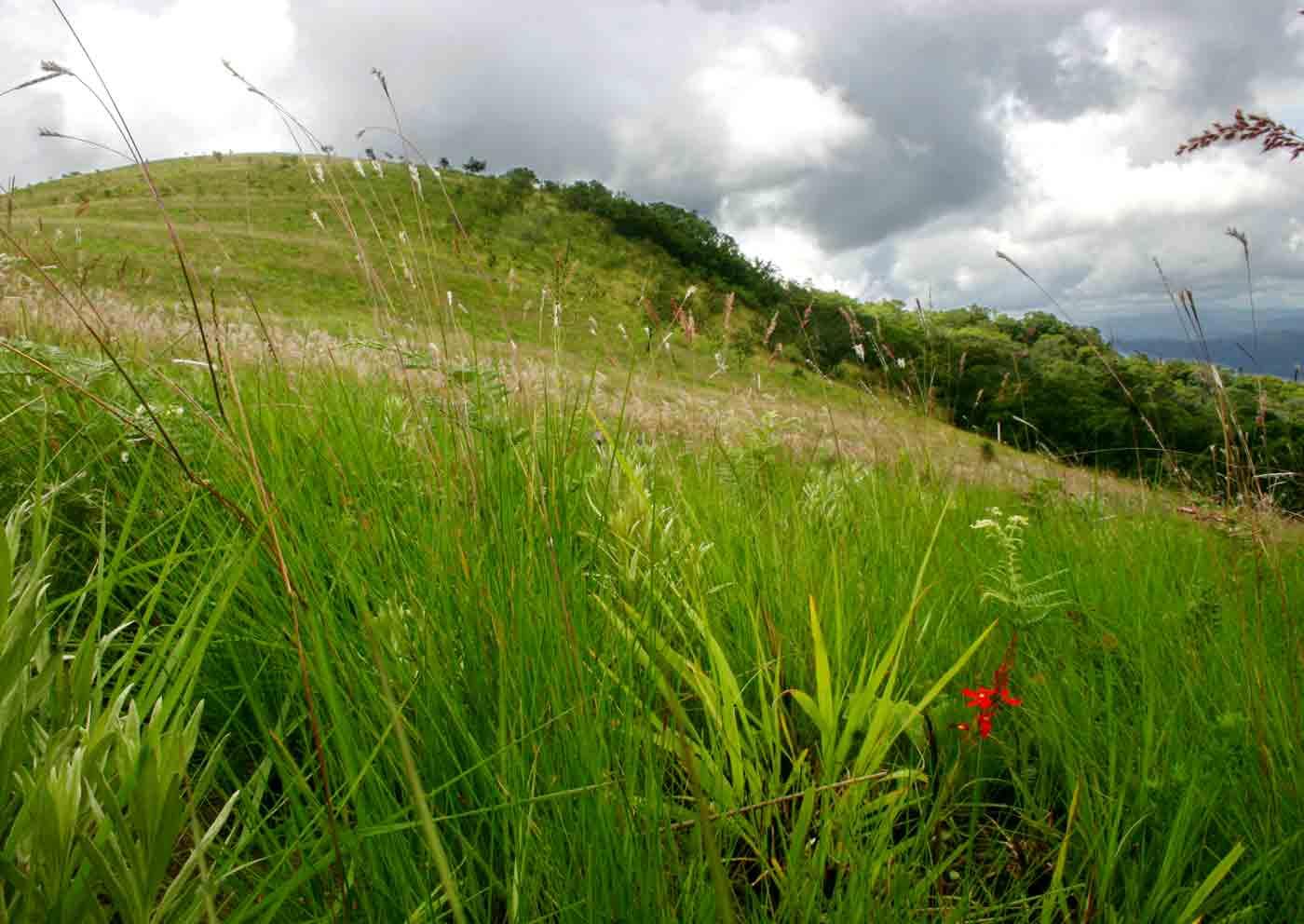 Striga elegans among the grasses