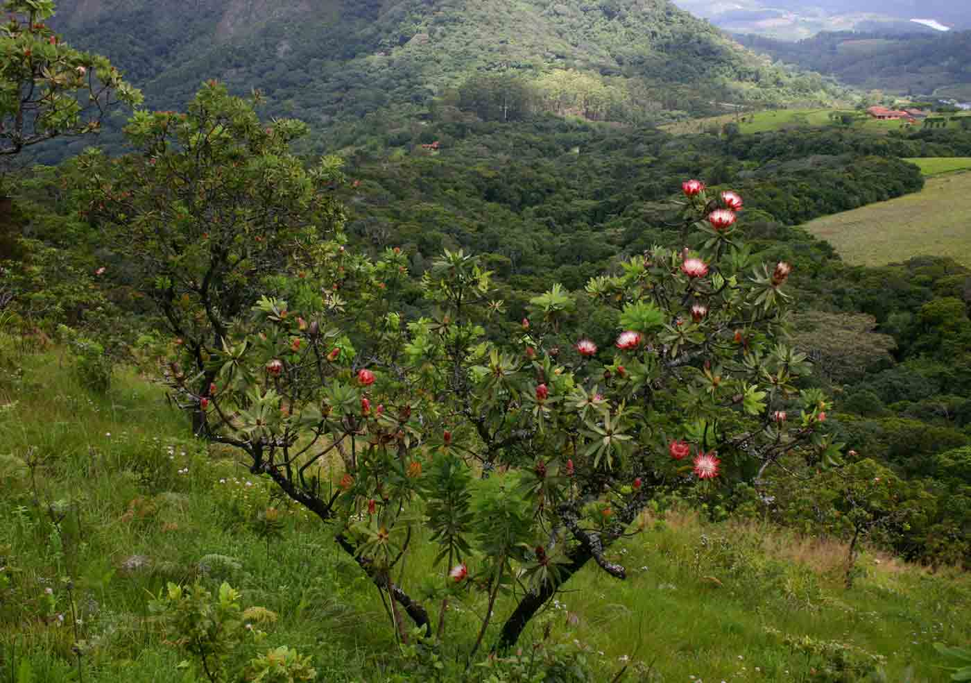 Protea caffra on the slopes above Cloudlands Forest, one of the few woody species in the grasslands