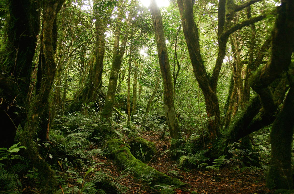 Tricholadus ellipticus mist forest on the higher slopes