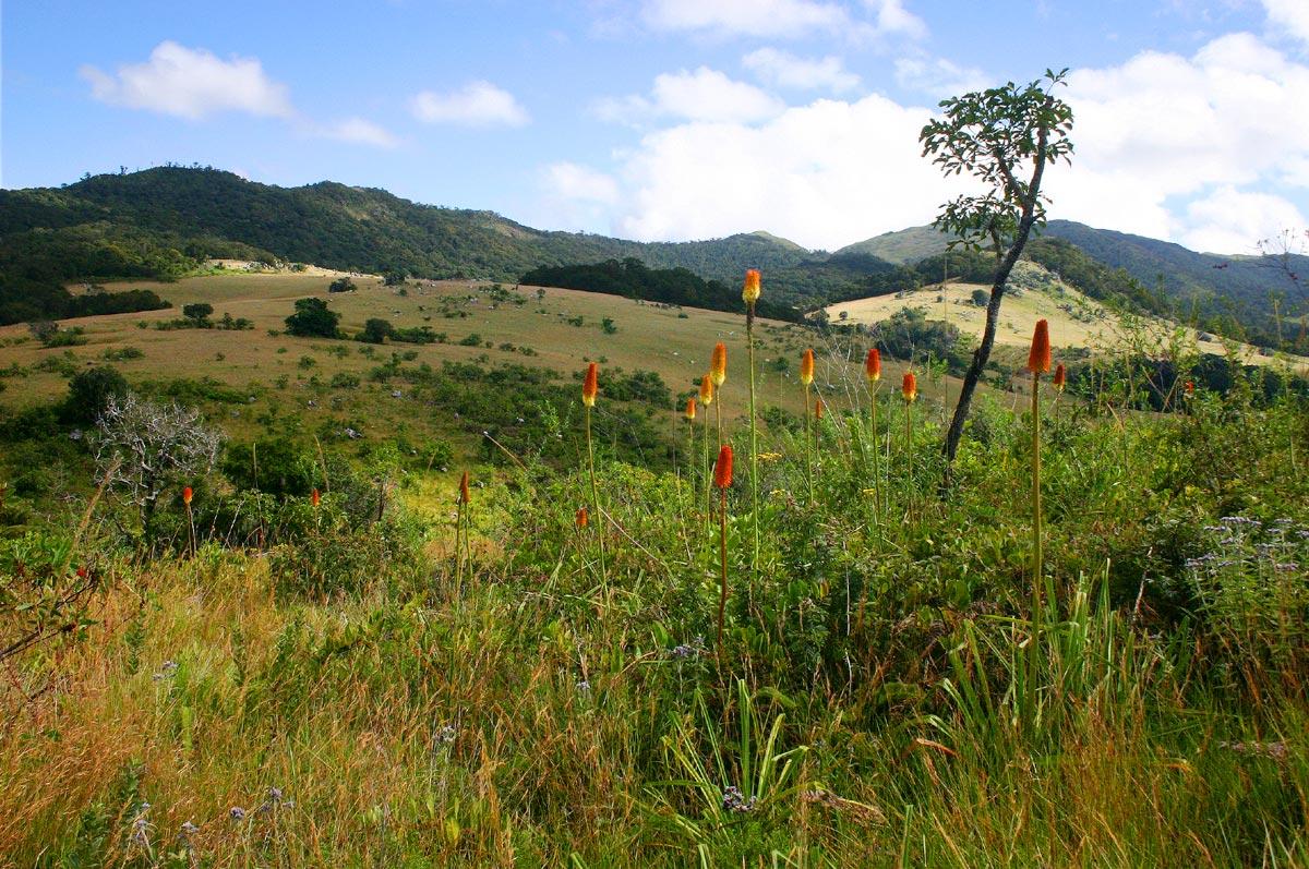 Kniphofia splendida in the upper Nhandar Valley