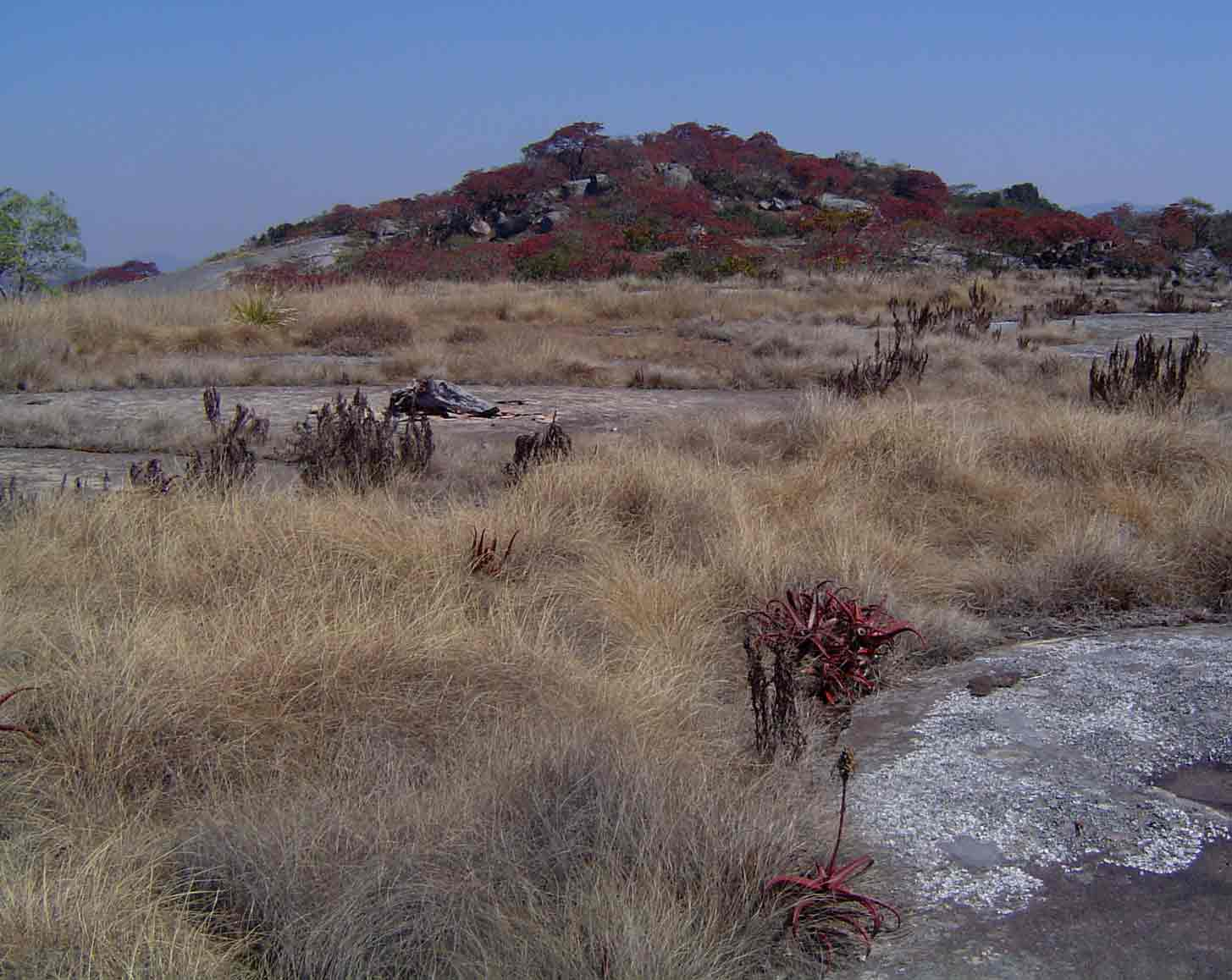 """<a href=""""species.php?species_id=113790"""">Aloe cameronii</a> and <a href=""""species.php?species_id=125310"""">Myrothamnus flabellifolius</a> in vegetation islands"""