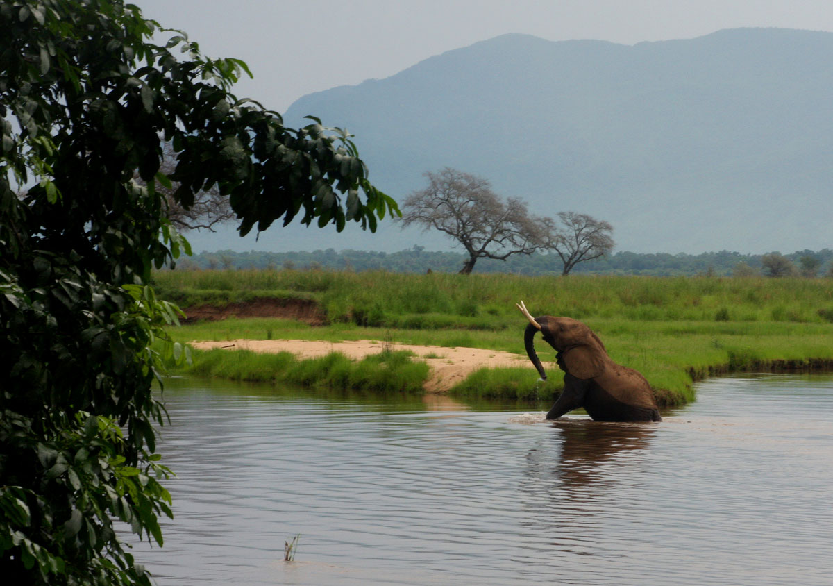 An elephant struggling to get back onto the riverbank after a bath