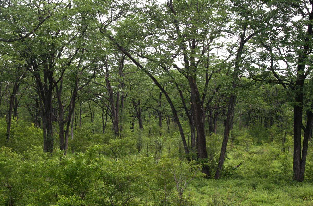 Vast expanses of mopane woodland in the drier parts on the valley floor