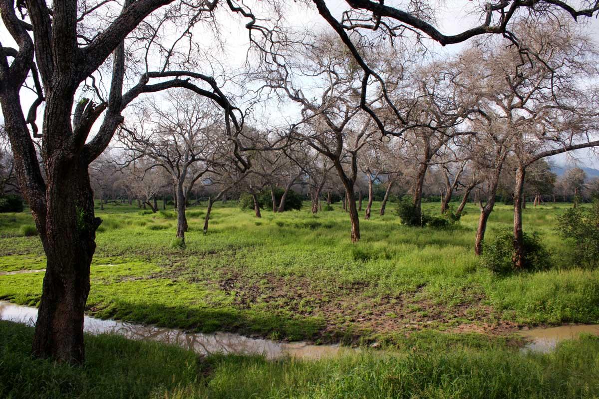 Open forests of Faidherbia albida dominate the alluvial floodplains