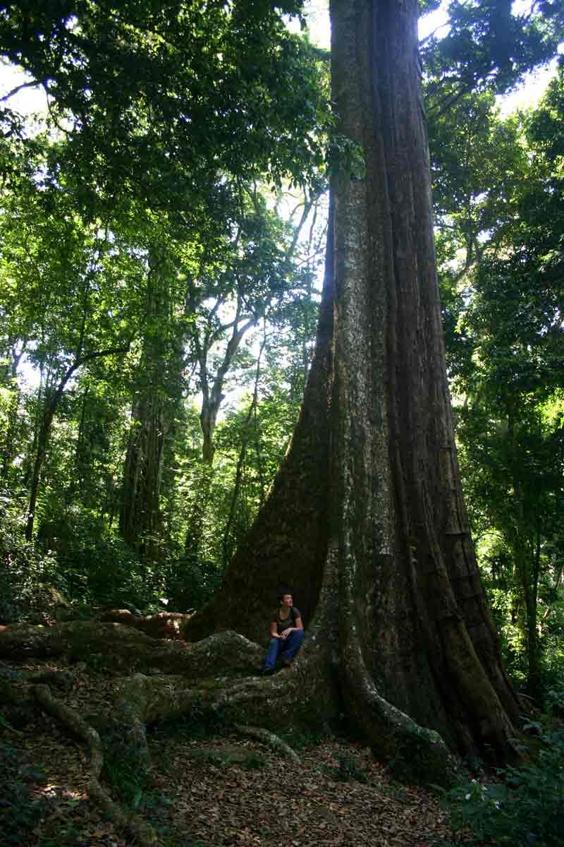 "The ""Big Tree"", Chirinda Forest"