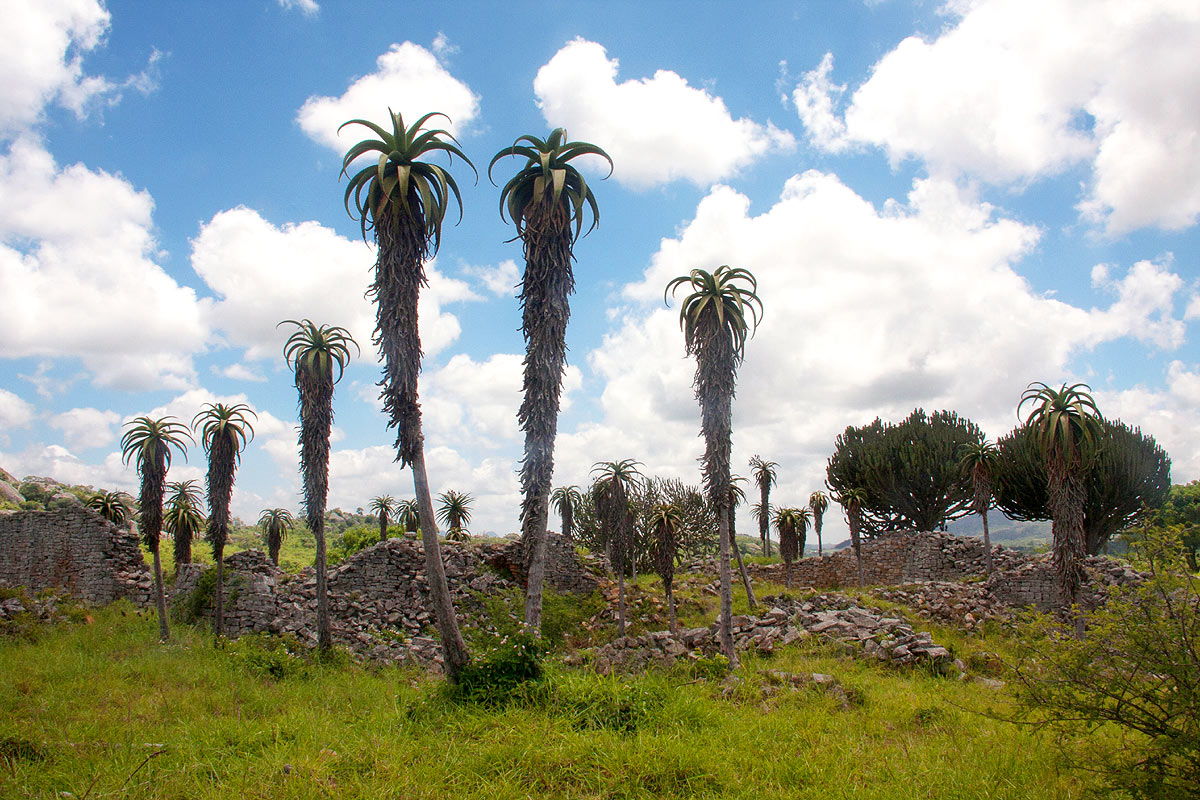 Spectacular specimens of Aloe excelsa and Euphorbia ingens abound among the ruins.
