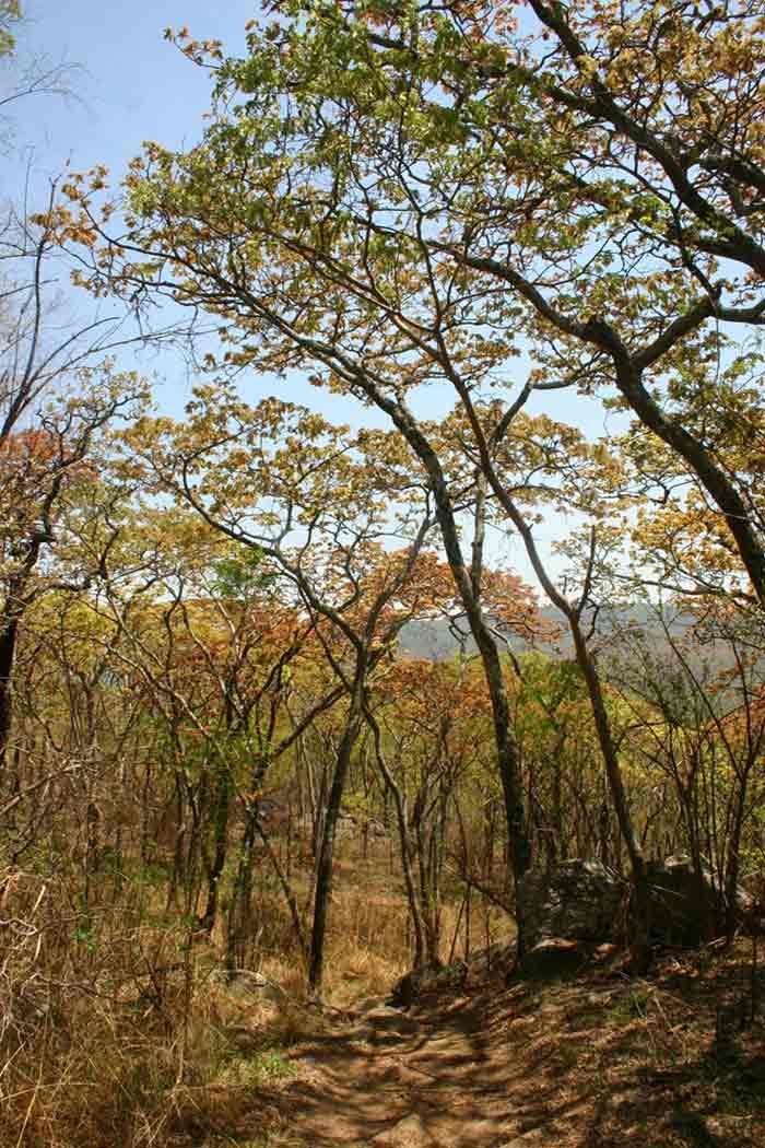 Brachystegia boehmii woodland