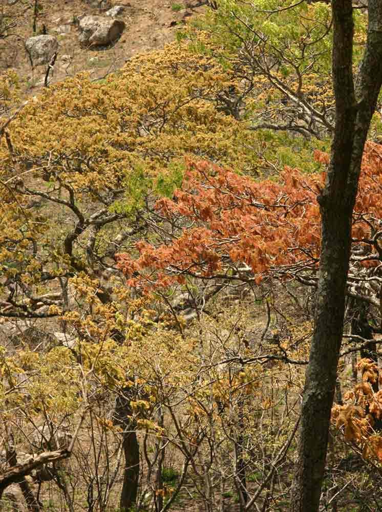 Brachystegia boehmii in spring colours