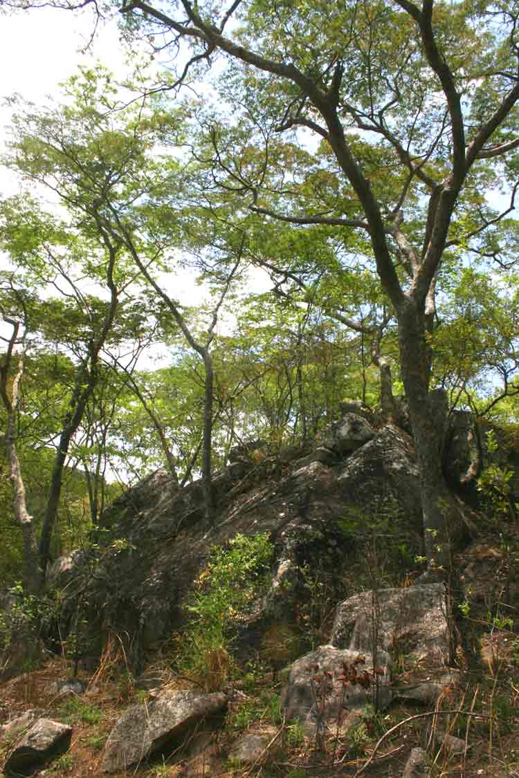 Brachystegia glaucescens on the rocky slopes