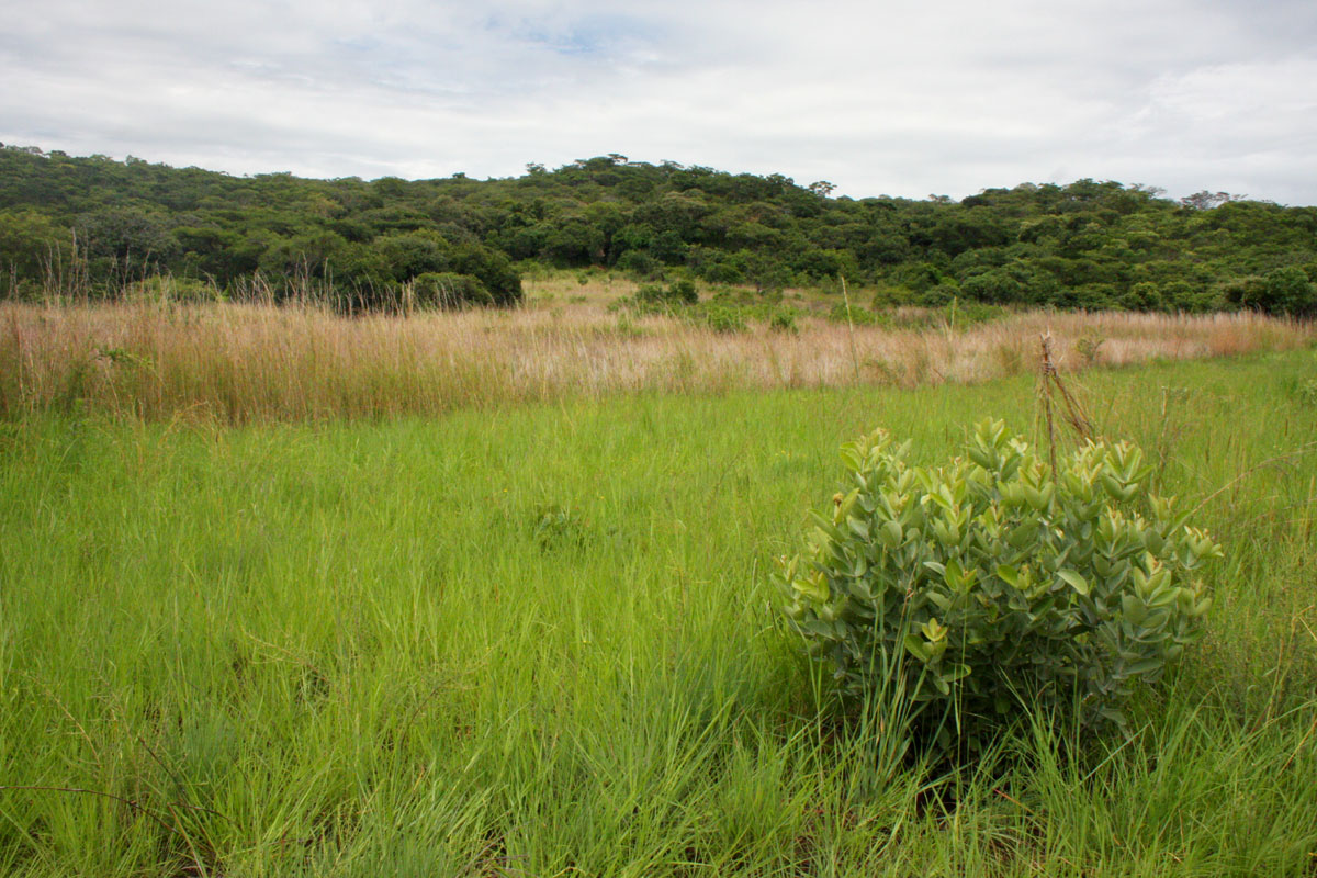 View towards the wettest part of the vlei with Eriosema englerianum in the foreground.
