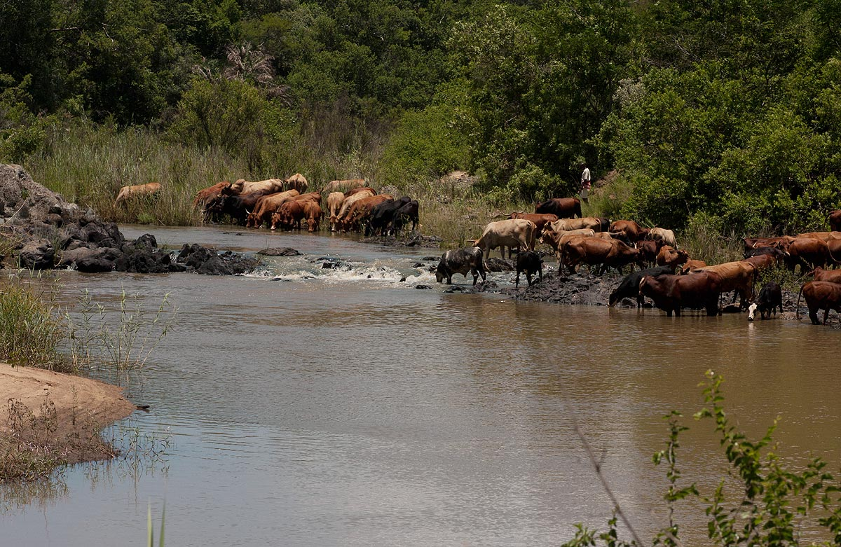 Cattle drinking at the river near the gorge