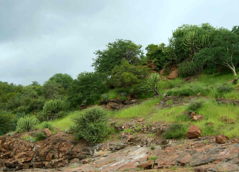 Euphorbia cooperi and Aloe chabaudii on the basalt hills.