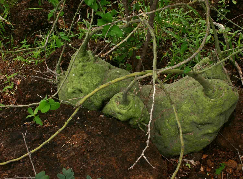 The rare Adenia spinosa near Hwale Bridge.