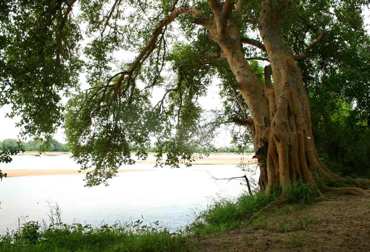 Large Ficus sycomorus at the water's edge.