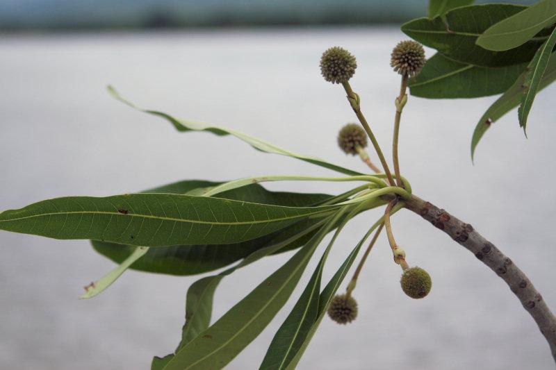 Breonadia salicina by the Zambezi River, Zambia