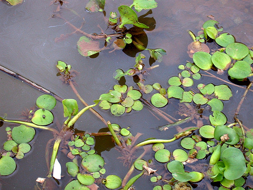Limnobium laevigatum and E. crassipes, Miller's Creek, Lake Chivero, 2006. Both species seem to be in their 'pioneer' phase when they are growing rapidly and can disperse easily. Note the swollen petiole in the crassipes plant in the lower right corner, which is typical at this stage.