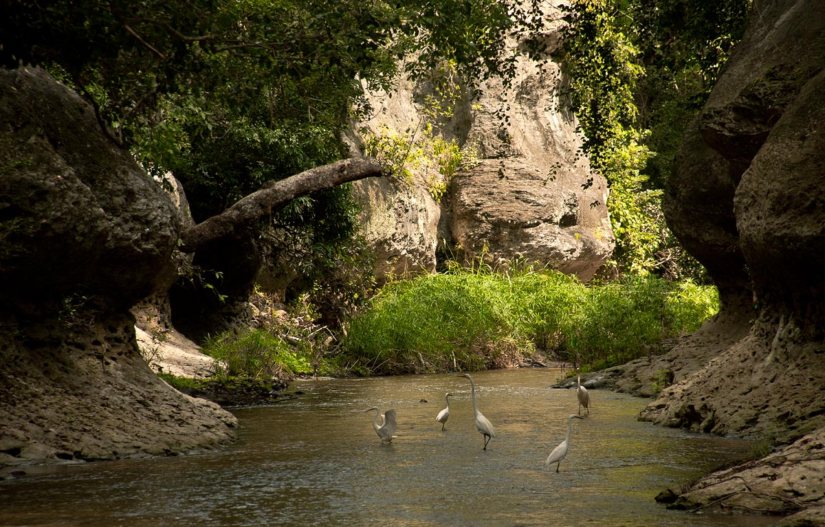 Egrets foraging in the shallow waters of the Mueredzi River