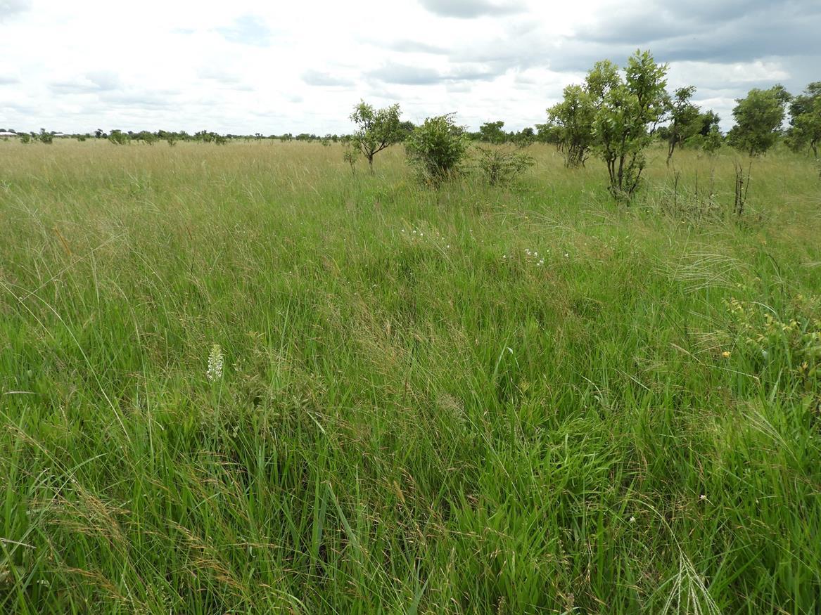 Mufumbwe Plain. Habitat: Open dambo/grassland. Location: Mufumbwe Plain, Mufumbwe District, North-Western Province.