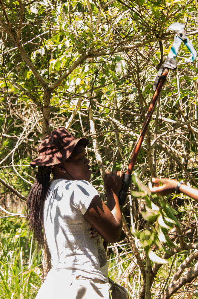 Celina collecting a specimen from a tree.